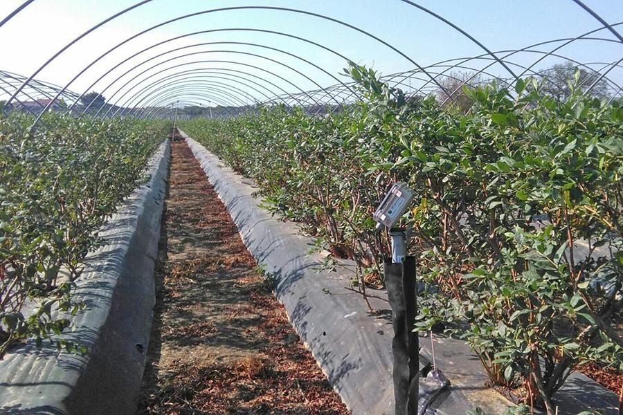 La Plataforma contabiliza más de 3.000 hectáreas de berries con riego eficiente en la Corona Norte